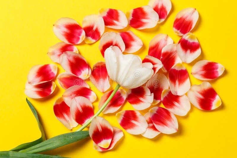 Женственная стильная насмешка вверх с цветком тюльпана, лепестками Космос для вашего дизайна, свадьбы экземпляра, приглашения, бл стоковые фотографии rf