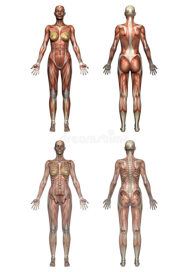 женщина анатомирования иллюстрация вектора