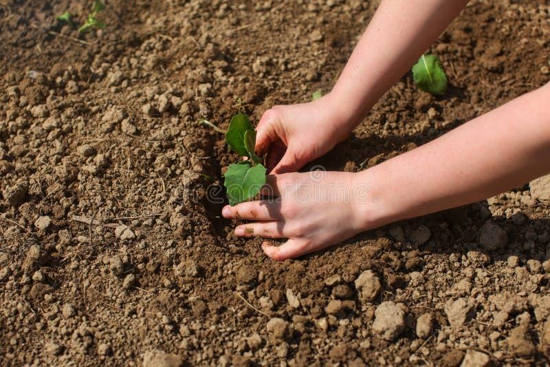 Женщина вручает засаживать молодой завод саженца в влажную почву сада, стоковое изображение