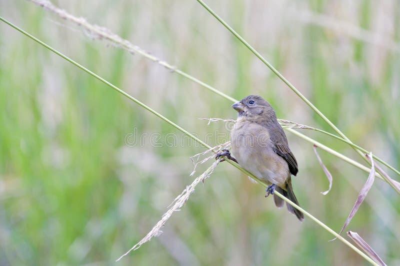 Download Женщина двух-collared Seedeater садилась на насест на черенок травы Стоковое Фото - изображение насчитывающей экологичность, свободно: 81804044