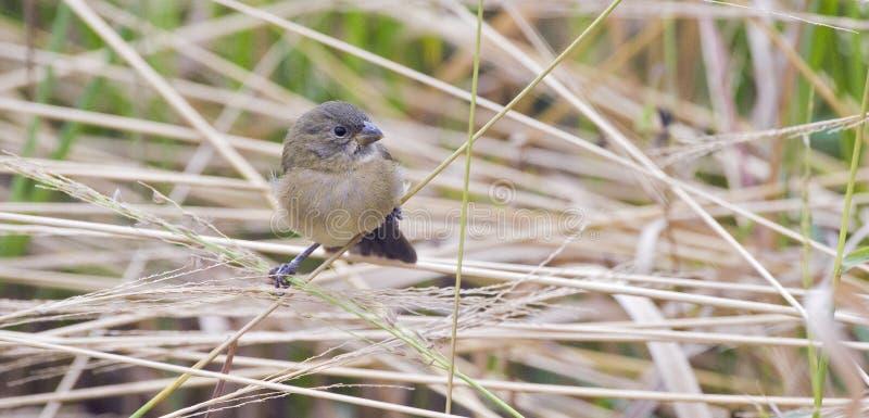 Download Женщина двух-collared Seedeater садилась на насест на черенок травы Стоковое Изображение - изображение насчитывающей экологичность, певица: 81806815