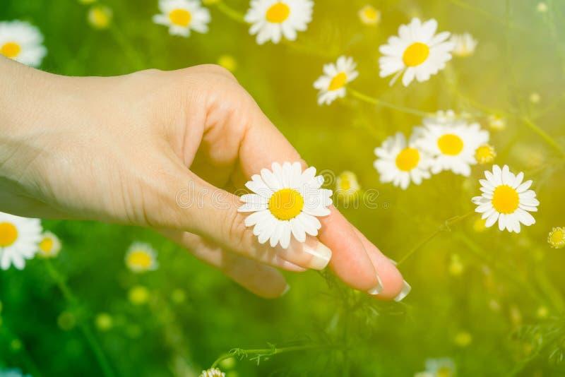Женщина выбирая вверх цветок стоцвета на поле стоковые фото