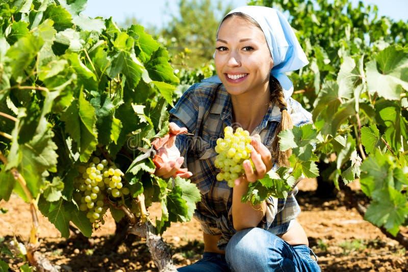 Женщина выбирая зрелые виноградины на винограднике стоковые фото