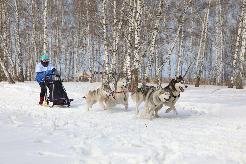 Женщина в гонке для 4 собак лайки породы сибирской в зиме во время сипл стоковые изображения rf