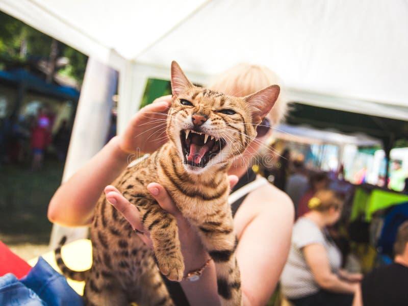 Женщина держа сердитого кота стоковое фото