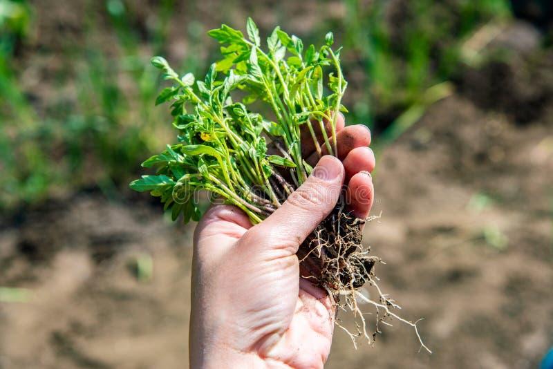 Женщина держит в ее руке саженец томата с корнями для засаживать и расти томат стоковая фотография rf