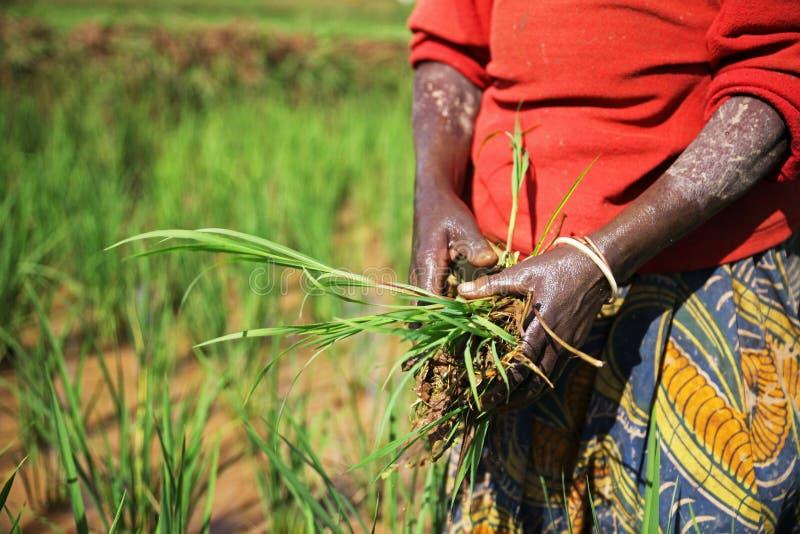 Женщина жать рис на поле в Руанде, Африке стоковое изображение rf