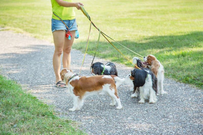 Женщина идя пакет Spaniel короля Чарльза небольших собак кавалерийского в парке Профессиональное обслуживание ходока собаки стоковое изображение rf