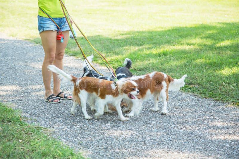 Женщина идя пакет Spaniel короля Чарльза небольших собак кавалерийского в парке Профессиональное обслуживание ходока собаки стоковое фото rf