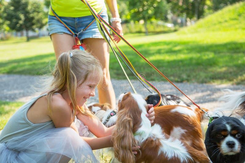Женщина идя пакет Spaniel короля Чарльза небольших собак кавалерийского в парке Профессиональное обслуживание ходока собаки стоковое изображение