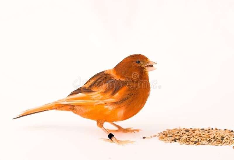 женщина канерейки птицы стоковое фото rf