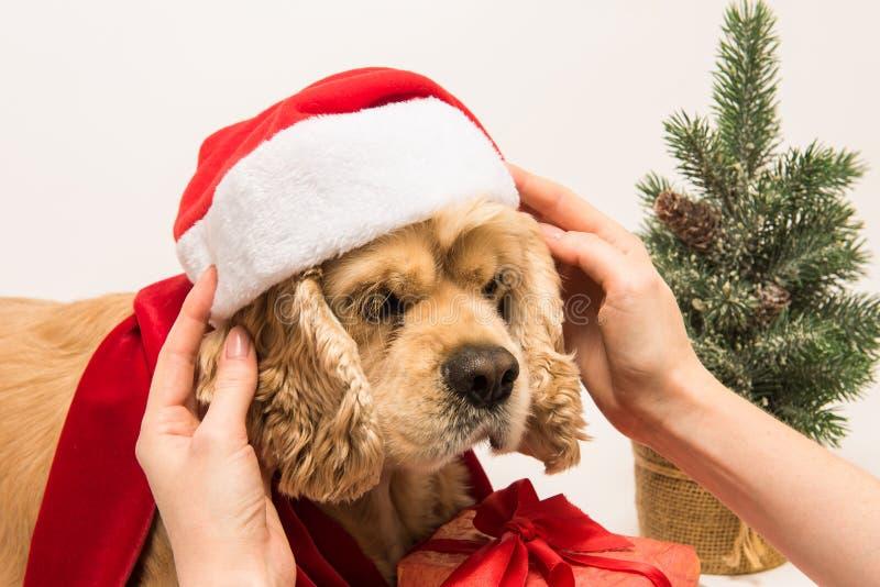 Женщина кладет шляпу ` s Санты на его собаку стоковые изображения rf