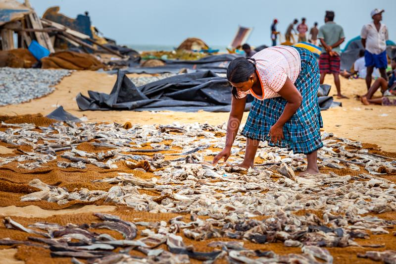 Женщина кладя рыб для того чтобы высушить на пляже Negombo стоковые фото