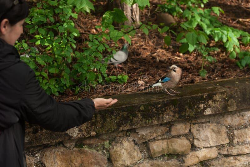 Женщина кормит jay от ее руки в парке города Евроазиатский jay Glandarius Garrulus Сер-коричневая птица с голубыми крыльями сидит стоковые изображения