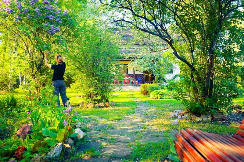 Женщина ломает ветвь сирени в зацветая саде в красивом солнечном весеннем дне стоковые фото