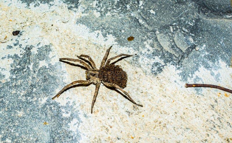 Женщина младенцев паука волка заботя на ей назад стоковая фотография rf
