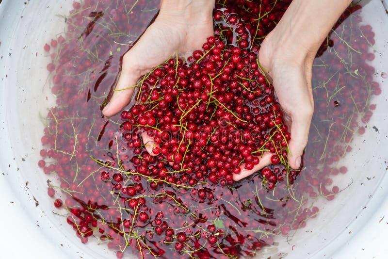 Женщина моет выбранные ягоды красной смородины, сжатые ягоды в большом шаре с водой стоковая фотография rf