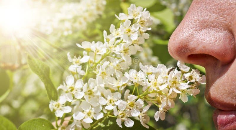 Женщина обнюхивает зацветая вишню птицы и не испытывает аллергии Нос человека обнюхивает sprig цветков вишни r стоковое фото