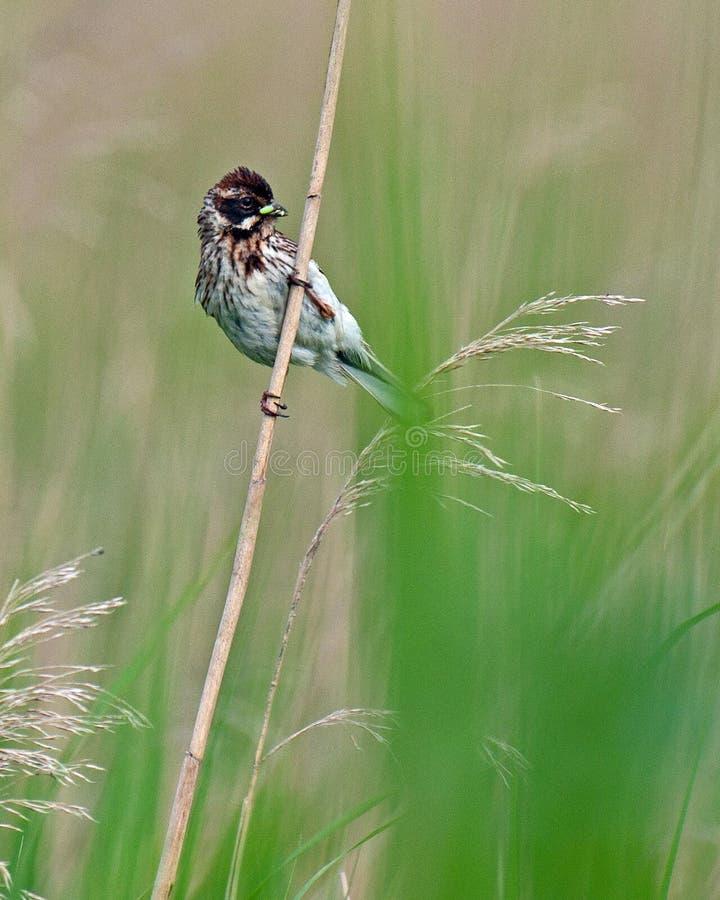 Женщина овсянки Reed стоковые фото
