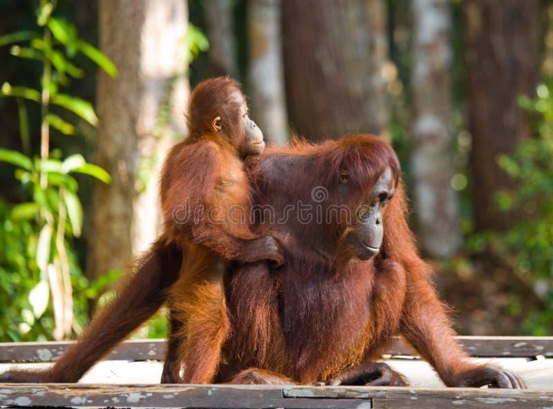 Женщина орангутана при младенец сидя на деревянной платформе в джунглях Индонезия стоковое изображение rf
