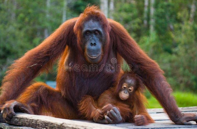 Женщина орангутана при младенец сидя на деревянной платформе в джунглях Индонезия стоковые фотографии rf
