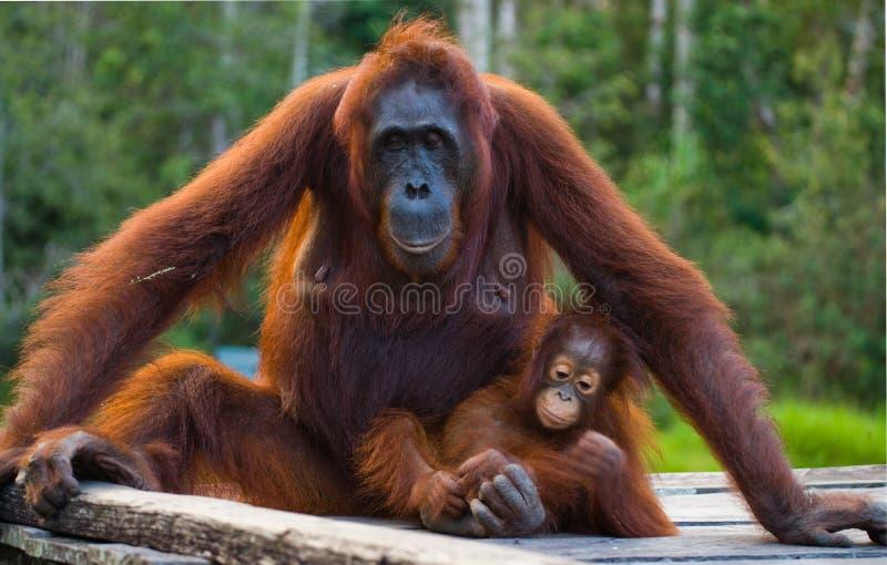 Женщина орангутана при младенец сидя на деревянной платформе в джунглях Индонезия Остров Борнео Kalimantan стоковое фото