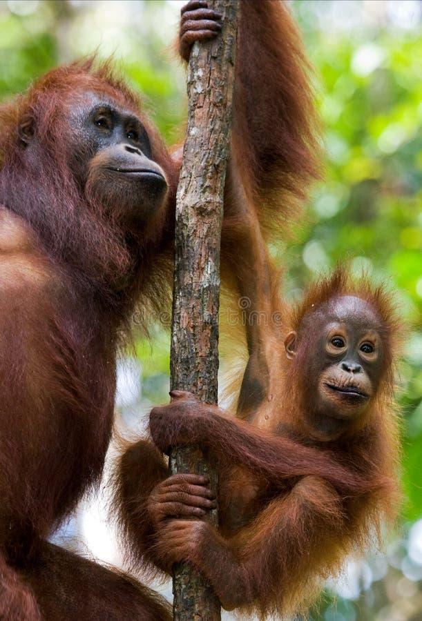 Женщина орангутана с младенцем в дереве Индонезия Остров Kalimantan & x28; Borneo& x29; стоковая фотография