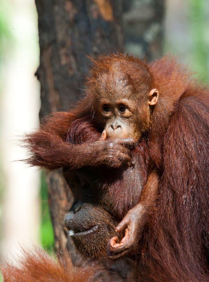 Женщина орангутана с младенцем в дереве Индонезия стоковые изображения