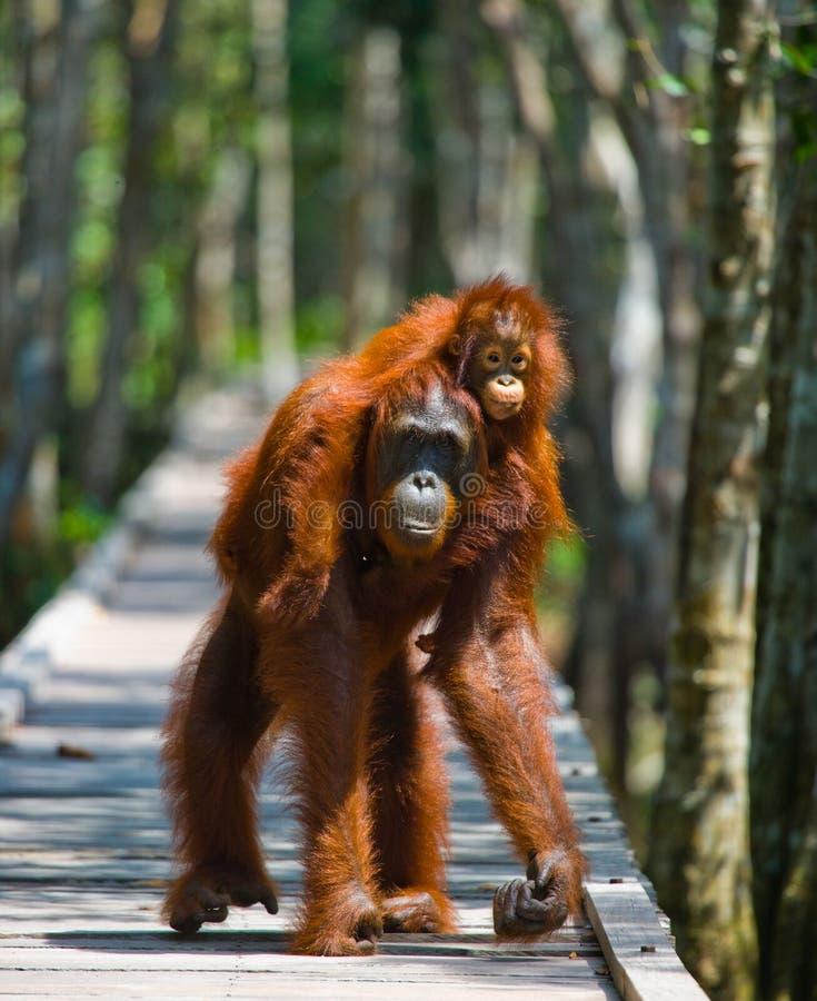 Женщина орангутана с младенцем идет на деревянный мост в джунглях Индонезия стоковое фото