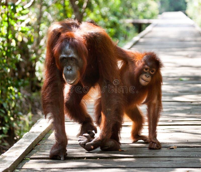 Женщина орангутана с младенцем идет на деревянный мост в джунглях Индонезия стоковые фотографии rf