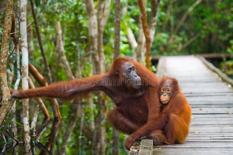 Женщина орангутана с младенцем идет на деревянный мост в джунглях Индонезия стоковая фотография