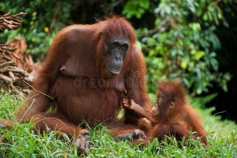 Женщина орангутана с младенцем на земле Индонезия Остров Kalimantan Борнео стоковые фото