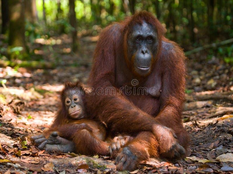 Женщина орангутана с младенцем на земле Индонезия Остров Kalimantan Борнео стоковые изображения