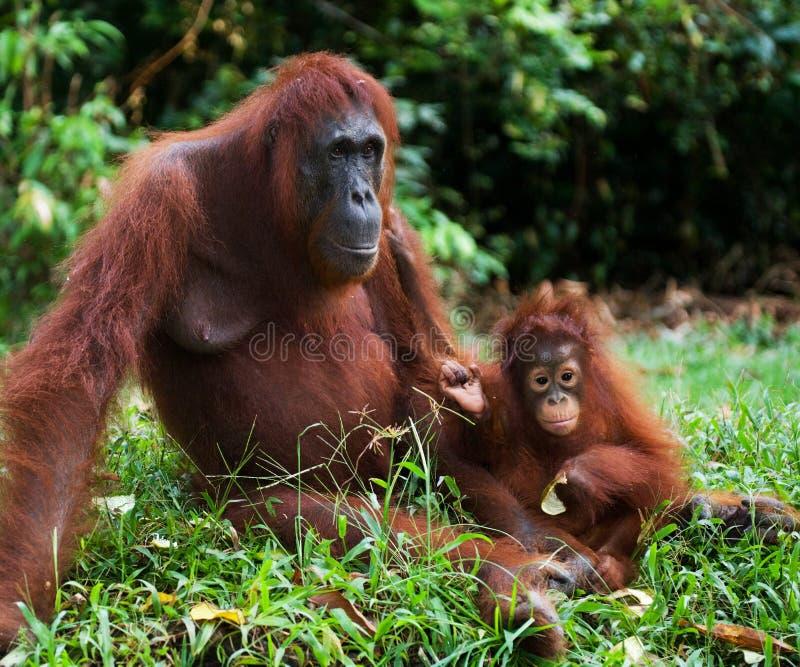 Женщина орангутана с младенцем на земле Индонезия Остров Kalimantan Борнео стоковое изображение