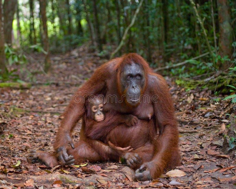 Женщина орангутана с младенцем на тропе смешное представление Индонезия стоковые изображения