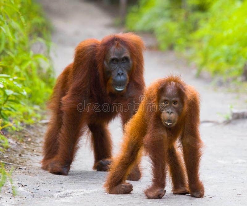 Женщина орангутана с младенцем на тропе смешное представление Индонезия стоковые фотографии rf