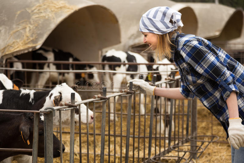 Женщина позаботить о молочное стадо в ферме поголовья стоковое фото