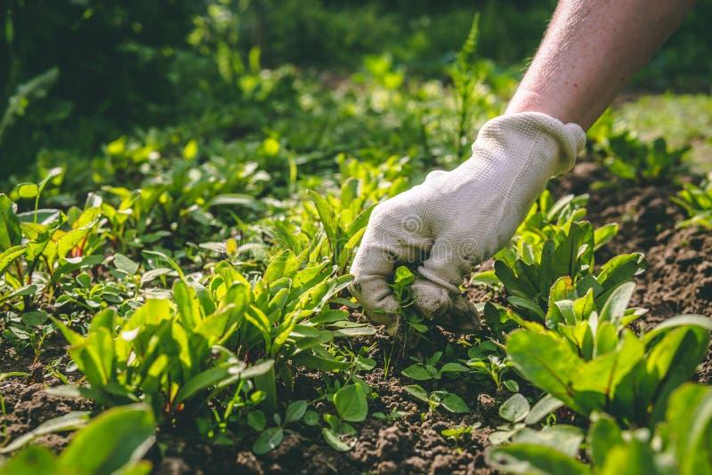 Женщина полет ее руки в перчатках завода в саде стоковые изображения