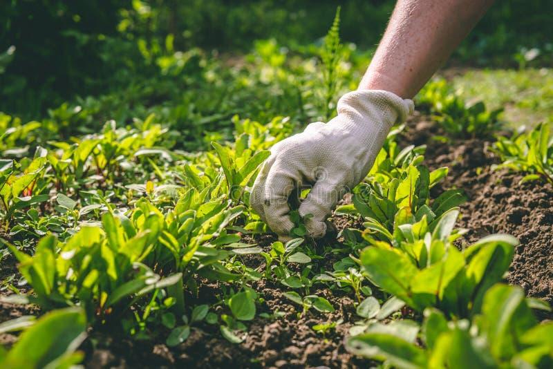 Женщина полет ее руки в перчатках завода в саде стоковое изображение