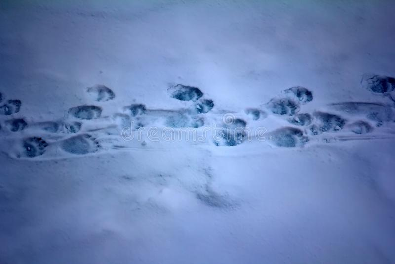 Женщина полярного медведя с 2 путем потоптанным новичками стоковые фотографии rf