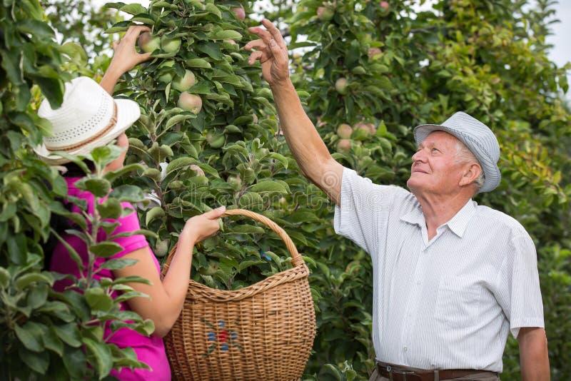 Женщина помогая более старому человеку в саде, выбрать яблоко стоковое изображение