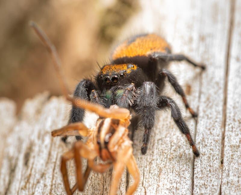 женщина прыгающая паука апаче, пхидипп апачеан, съедая большого волчьего паука стоковое фото rf