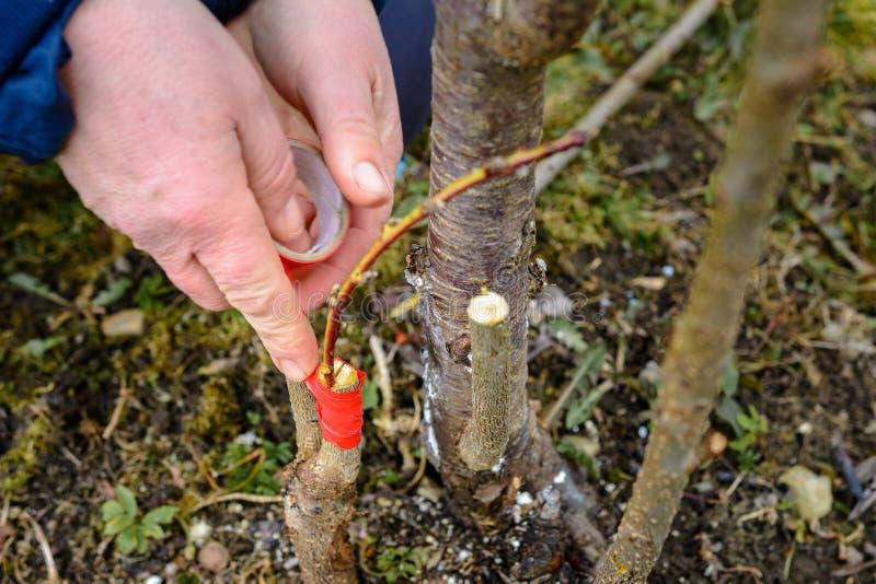 Женщина создает программу-оболочку дерево прививка с изолируя лентой в саде для того чтобы задержать сырость в ей в конце-вверх стоковая фотография