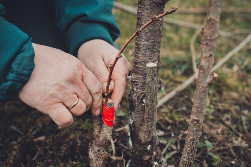 Женщина создает программу-оболочку дерево прививка с изолируя лентой в саде для того чтобы задержать сырость в ей в конце-вверх стоковое фото rf