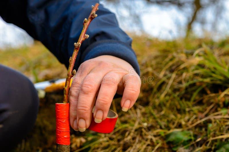 Женщина создает программу-оболочку дерево прививка с изолируя лентой в саде для того чтобы задержать сырость в ей в конце-вверх стоковые фотографии rf