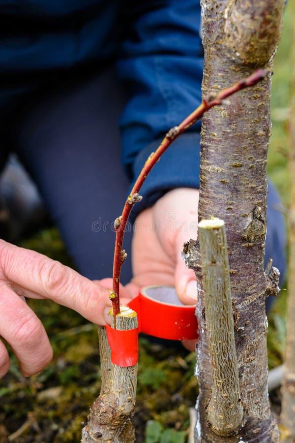 Женщина создает программу-оболочку дерево прививка с изолируя лентой в саде для того чтобы задержать сырость в ей в конце-вверх стоковое фото
