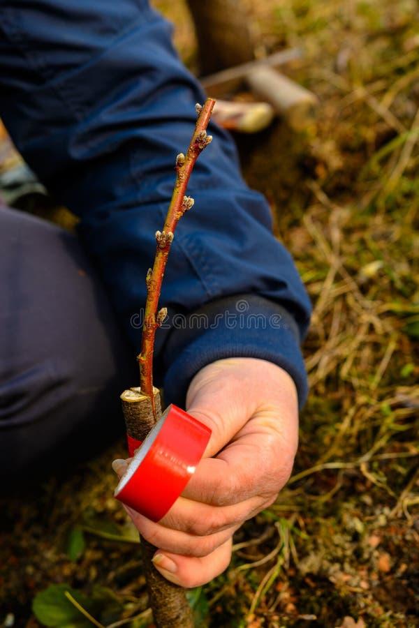 Женщина создает программу-оболочку дерево прививка с изолируя лентой в саде для того чтобы задержать сырость в ей в конце-вверх стоковая фотография rf