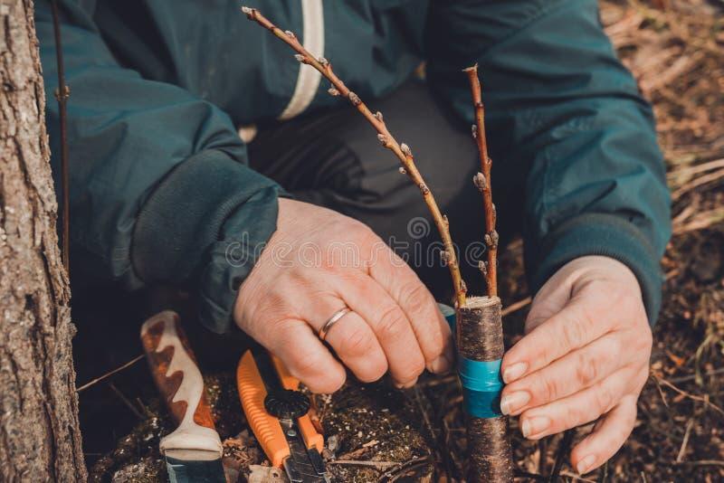 Женщина создает программу-оболочку дерево прививка с изолируя лентой в саде для того чтобы задержать сырость в ей в конце-вверх стоковое изображение