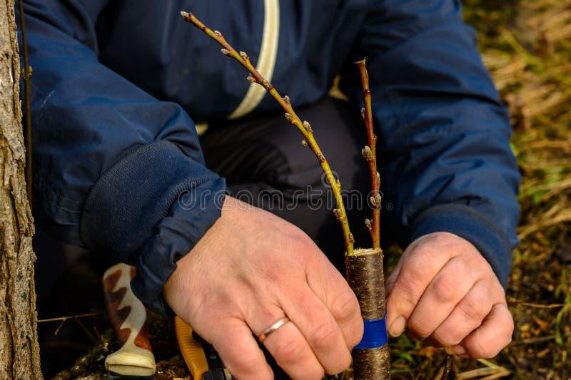 Женщина создает программу-оболочку дерево прививка с изолируя лентой в саде для того чтобы задержать сырость в ей в конце-вверх стоковые изображения rf