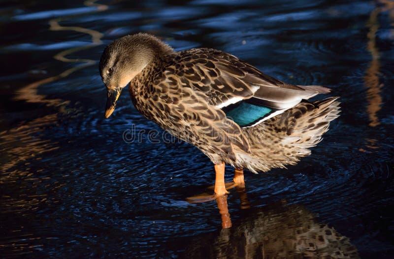 Женщина утки кряквы стоковые изображения rf
